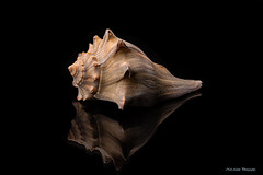 Conch shell (Neil Adams Photography (Wirral)) Tags: shell conch