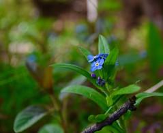 Forget me not (Jean-Pierre Bérubé) Tags: myosotis plante fleurs flower flore bleu forgetmenot