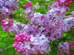 IMG_6701 6-5-2019 (PGK88) Tags: lilac flowers cluster plant purple nature closeup blooming blooms blossoms shrub beautiful garden outdoors spring springtime 2019