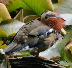 IMG_0752 papa mandarin after birdy bath (belight7) Tags: duck pond male burnham beeches forest nature uk england walk