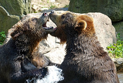 brown bears (geneward2) Tags: brown bear bronx zoo mammals predators play