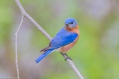 CA3I6340-Eastern Bluebird (tfells) Tags: easternbluebird bird nature wildlife songbird passerine pennsylvania safeharbor thrush sialiasialis