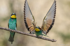 European bee-eaters. (Ciminus) Tags: naturesubjects aves ornitology nature ciminus birds ciminodelbufalo wildlife gruccioni europeanbeeeaters oiseaux afsnikkor500mmf4gedvrii meropsapiaster uccelli ornitologia nikond850