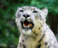 Snow leopard (geneward2) Tags: snow leopard cat mammal predator bronx zoo