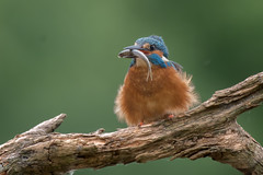 IJsavogel - Common Kingfisher - Alcedo atthis (MHR Roes) Tags: alcedoatthis ijsvogel commonkingfisher hbn6 hanbouwmeester vogelkijkhut
