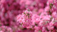 Pink (Wawawum) Tags: arbre colorful couleurs fleur flower plant plante printemps spring tree montreal quebec canada