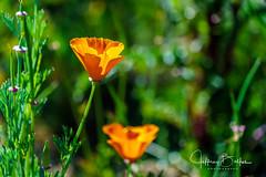 California Poppy (Jeffrey Balfus (thx for 5,000,000 views)) Tags: sonyalpha sonya9 ilce9 rubyhill golf fe24240mmf3563oss sel24240