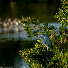 Little Blue Heron (Jim Frazier) Tags: 201801floridatrip 2019 ardeidae egrettacaerulea nyctanassaviolacea yellowcrownednightheron animals aves bayou beautiful beauty biota birding birds birdwatching dingdarlingnationalwildliferefuge fauna fl flora florida foliage herons january jimfraziercom leaf leaves life littleblueheron living loaf loafing lonely lonesome marsh natural nature one perch perched perching plants portrait preserve q4 roadtrip roost roosting ruleofthirds single square sunny swamp vacation water wetland wildlife winter instagroup instagram f10