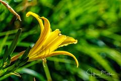 Ruby Hill-942134 (Jeffrey Balfus (thx for 5,000,000 views)) Tags: sonyalpha sonya9 ilce9 rubyhill golf fe24240mmf3563oss sel24240 flower