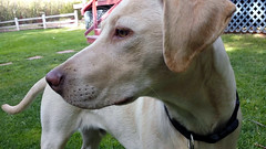 Lost in thought (twm1340) Tags: 2019 lab labrador retriever dog puppy stuart yellow