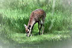 DSC_5061 (adamsdale616) Tags: northern color beauty nature animal wildlife outdoor waterfront wisconsin • dusk autumn golden water pond sky light new usa spring summer animals birds midwest colorful landscape nikon d7200 reflection detail closeup deer