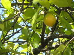 Lemons  in a lemon tree. The Terrace/garden of the Hotel Costa Vella,   Rua  Porta  da  Pena,  Santiago  de Compostela,  Galicia, Spain (d.kevan) Tags: trees plants leaves gardens spain bars branches terraces restaurants foliage galicia santiagodecompostela twigs hotelcostavella ruaportadapena lemons fuit