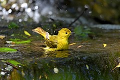 Bathing Yellow Warbler (kevinwg) Tags: yellow warbler yellowwarbler bath bathing water bird time