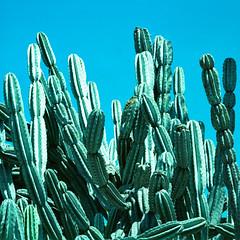 cacti (xpro). san marino, ca. 2018. (eyetwist) Tags: eyetwistkevinballuff eyetwist cacti cactus huntington desert gardens sanmarino pasadena losangeles california mamiya 6mf 50mm kodak ektachrome epn 100 mamiya6mf mamiya150mmf45l kodakektachrome100epn xpro crossprocess cross process processed ishootfilm ishootkodak analog analogue film emulsion mamiya6 square 6x6 mediumformat 120 filmexif iconla epsonv750pro lenstagger los angeles la huntingtonlibrary garden spiny sharp point leaves sky teal cyan green spines