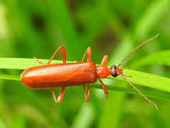Fire-colored Beetle (Dendroides concolor) (annette.allor) Tags: beetle insect nature wildlife dendroides concolor western maryland macro