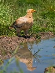 Alimoche - Buitre Egipcio (https://www.instagram.com/masjota/) Tags: alimoche neophronpercnopterus egyptianvulture percnoptère marieblanque aves oiseaux birds rapaz rapacious carroñero charognard scavenger