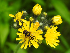 Transverse Flower Fly (Eristalis transversa) on yellow flowers (annette.allor) Tags: fly bug nature flower insect transverse wildlife western maryland yellow