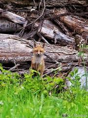 190604-63 Renardeau (clamato39) Tags: renard redfox fox animal sauvage wild nature outside olympus provincedequébec québec canada forest forêt
