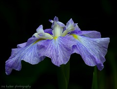 Somebody told me it was frightening how much topsoil we are losing each year, but.... (itucker, thanks for 5+ million views!) Tags: iris louisianairis macro bokeh green hggt dukegardens