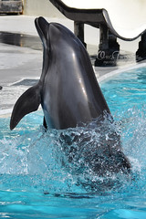 (OrcaTwins) Tags: orcatwins megakillerwales marineland marinelandcanada marinelandontario marinelandfrance loroparque seaworld seaworldsandiego seaworldorlando seaworldsanantonio orca orcas orcawhale orcawhales killerwhale killerwhales beluga belugas belugawhales belugawhale dolphin dolphins whale whales animal animals wildlife earth planet nature world ocean sea wild animalcloseups zookeeper sandiegozoo sandiego shamu shamushow shamurocks shamulightupthenight shamucelebration animalphotography wildlifephotography nikond3400 nikon kiska keiko lolita tillikum moscowarium bbcearth bbcnature disneynature discoverychannel nationalgeaographic natgeowild show animaltrainer