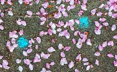 Petaline (jaxxon) Tags: 2019 d610 nikond610 jaxxon jacksoncarson nikon nikkor lens nikon105mmf28gvrmicro nikkor105mmf28gvrmicro 105mmf28gvrmicro 105mmf28 105mm macro micro prime fixed pro abstract abstraction chalk paint paintballs blue pink petals sprint fruittrees sidewalk concrete texture surface cyan lightblue