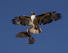 Cooper's Hawk v. Red-tailed Hawk: A Battle For Dinner (mesquakie8) Tags: bird raptors flying anaerialbattlefordinner coopershawkversusredtailedhawk cottonwoodcovepark stgeorge washingtoncounty utah 7878