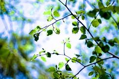 Back Light (tez-guitar) Tags: leaf leaves branch tree sunlight backlight leica leicacl shinshu nagano kamikochi summicron
