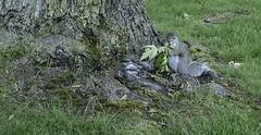 Eating salad for dinner (remiklitsch) Tags: lewistonny dinner green eat tree squirrel