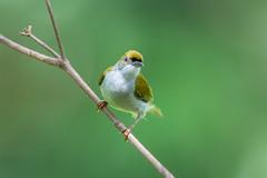 Plain Sunbird (BP Chua) Tags: bird nature wild wildlife animal sunbird nikon 600mm d850 panti malaysia johor