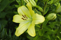 Boldly Yellow Asiatic Lily (Modkuse) Tags: lily yellow yellowlily flower nature natural art artphotography photoart artistic fineartphotography fineart fujifilm fujifilmxt2 xt2 fujinon fujinonxf1855mmf284rlmois xf1855mmf284rlmois asiatic