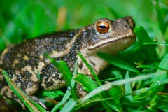 Toad in the Rain (turdpolisher) Tags: toad frog toads frogs nature backyard fauna