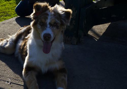 Rubix, jeune Berger australien/Rubix, young Australian Shepherd