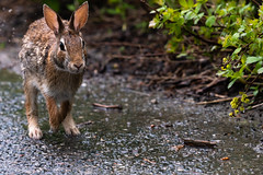 Eastern Cottontail 01 (cypher40k Photography) Tags: 200500 animal animals color colour cottontail eastern easterncottontail nature nikon nikond500 rabbit toronto wild wildlife