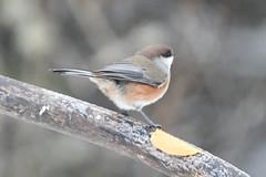 DuluthSuperior2019-44 (chuck_lunsford) Tags: borealchickadee