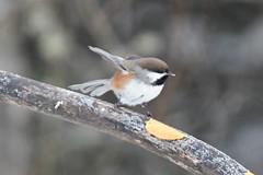 DuluthSuperior2019-42 (chuck_lunsford) Tags: borealchickadee