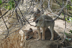 Two Coyote Pups Learning about the World (nature80020) Tags: coyote pups nature wildlife metzgerfarmopenspace colorado
