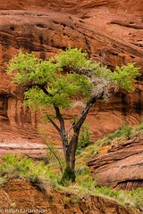 A Touch of Green in the Desert (Ralph Earlandson) Tags: coloradoplateau desert desertvarnish cottonwood tree utah escalantecanyons glencanyonnationalrecreationalarea