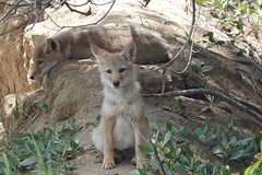 Two Coyote Pups Sitting Near the Den (nature80020) Tags: coyote pups personality moods nature wildlife metzgerfarmopenspace colorado