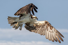 Osprey Takeoff (dbadair) Tags: outdoor seaside shore sea sky water nature wildlife 7dm2 7d ii ef100400mm ocean canon florida bird