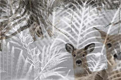 Through the Fronds (Cindy's Here) Tags: deers fern fernfronds doubleexposure canon hsos