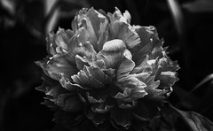 Paeonissimo (AnyMotion) Tags: peony pfingstrose paeoniaofficinalis blossom blüte bokeh 2019 anymotion plants pflanzen nature blumen floral flowers garden garten frankfurt spring frühling primavera printemps bw blackandwhite sw 7d2 canoneos7dmarkii