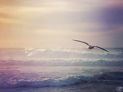 Pastel Seagull (amymedina.photoart) Tags: amymedina fineart pacific waves soft pastel painterly seagull bird wildlife ocean oceanic wave crashingwaves water seascape sea