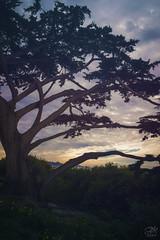 Magic Cypress (amymedina.photoart) Tags: amymedina art blue carmel clouds coast coastalcolors cypress dramaticsky fineart gold landscape light montereybay nature pacific painterly photography silouhette sky soft sun sunset tree
