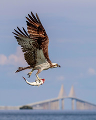Osprey Inflight & Sunshine Skyway Bridge (dbadair) Tags: outdoor seaside shore sea sky water nature wildlife 7dm2 7d ii ef100400mm ocean canon florida bird