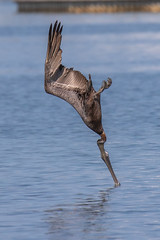 Brown Pelican Diving (dbadair) Tags: outdoor seaside shore sea sky water nature wildlife 7dm2 7d ii ef100400mm ocean canon florida bird
