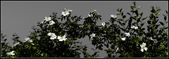Dzikie róże. (andrzejskałuba) Tags: plant nature beautiful rose lumix europe natural poland polska natura sudety natureshot silesia róża roślina niebo natureworld biały szary pieszyce dolnyśląsk panasonicdmcfz200 flowers wild sky flower green floral leaves garden grey spring flora twig kwiaty wiosna kwiat liście zieleń ogród gałązka dzikie 1000v40f