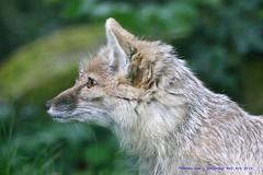 Eyes On The Prize......... (law_keven) Tags: corsacfox france paris photography wildlife animals wildlifephotography menageriejardindesplantes animal animalphotography fox