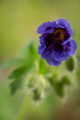 About to Come Alive (LadyBMerritt) Tags: cranesbill flower afloweraday plant bloom nature garden blossom macro