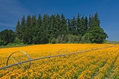 Flower Farm 5793 A (jim.choate59) Tags: on1pics jchoate flower field rural farm springtime orange irrigation scenic landscape silvertonoregon marioncounty salemoregon