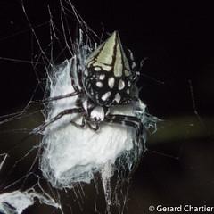 Neogea nocticolor (GeeC) Tags: arachnida animalia neogeanocticolor araneomorphae nature arthropoda kohkongprovince araneae cambodia tatai araneidae neogea orbweavers spiders truespiders khumruesseichrum
